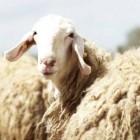 Овцеводство должно развиваться