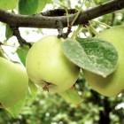 Пару слов о яблоне
