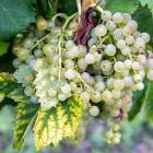 Как сохранить виноград в домашних условиях?